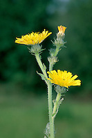 HAWKWEED OXTONGUE Picris hieracioides (Asteraceae) Height to 70cm. Branched perennial with stems that are bristly and sometimes are tinged reddish towards the base. Grows in rough grassland, often near the coast. FLOWERS are borne in heads, 20-25mm across (Jul-Sep). FRUITS have feathery hairs. LEAVES resemble those of Bristly Oxtongue but are narrow-oblong, toothed and covered in bristles that are not swollen-based. STATUS-Locally common only in SE England; scarce or absent elsewhere.