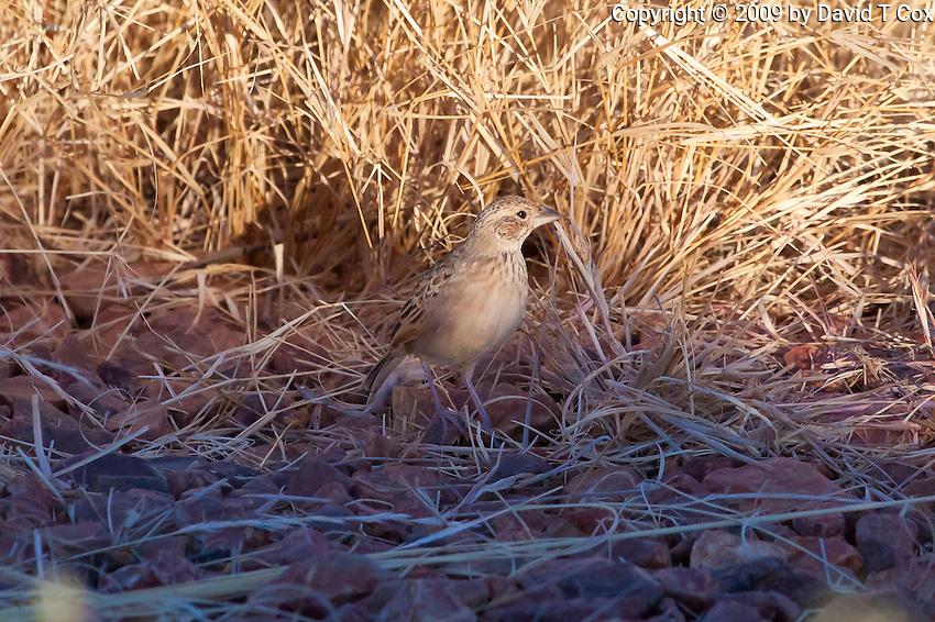 Horsfield's Bushlark, Camooweal - Tennant Crk Rd, NT, Australia