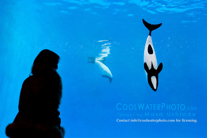 aquarium visitor observing Commerson's dolphins, Cephalorhynchus commersonii (c), found only around western South Atlantic Ocean
