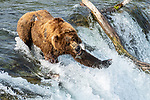 "Pictured: A hungry bears lines up its dinner as it tries to catch leaping Salmon from the water at Brook Falls, Alaska. Photographer Nina Waffenschmidt captured the extraordinary moment the hungry bear tried to catch the fish as the left from the water. <br /> <br /> The 34 year old was on an expedition with a friend when she snapped the bear feeding at the river.  ""The bear must have caught around 15 to 20 of the elating salmon, which would have made for a nice dinner!""<br /> <br /> The marketing consultant from Hamburg, Germany said ""I was on a viewing platform at the Upper Falls in the Katmai National Park when I took the photos. I really like all the funny expressions, the bear gave off, such as the times when the bear seemed to be puzzled by the salmon just missing his open mouth or his paw."" <br /> <br /> Please byline:Nina Waffenschmidt/Solent News<br /> <br /> © Nina Waffenschmidt/Solent News & Photo Agency<br /> UK +44 (0) 2380 458800"