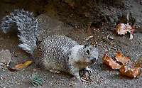 California Ground Squirrel (Spermophilus beecheyi), [Wild] near Vernal Fall, Yosemite National Park, California, United States of America