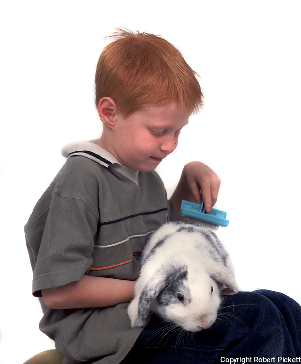 Young Boy brushing Pet Rabbit, Lop Grey & White Colour, aged 7 years old, domestic, white background, cut out, studio