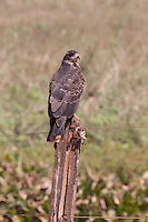 The Savannah Hawk is an opportunistic feeder, preferring snakes, fish, lizards and frogs. It also eats small mammals, insects, beetles, caterpillars, grasshoppers, ants and spiders and occasionally birds. It is attracted to grass fires to capture prey escaping from the fire. This species has a number of calls - a high-pitched cry, 'kree-ce-ee-er', or 'skieh' that ends in a drawn-out wail.<br /> <br /> Family - Hawks<br /> <br /> Other Names - Red Winged Hawk<br /> <br /> Latin Name - Heterospizias meridionalis<br /> <br /> Range - Panama, Colombia, Bolivia, Argentina and Uruguay savannah hawk in Pantanal Brazil