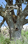 An African leopard relaxes in a sausage tree in Serengeti National Park, Tanzania.