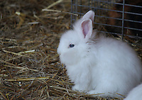 Small white rabbit sitting on dry grass in a farm.