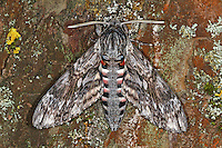 Winden-Schwärmer, Windenschwärmer, , Windig, Agrius convolvuli, Herse convolvuli, Convolvulus Hawk-moth, Le sphinx du liseron, sphinx à cornes de bœuf, Schwärmer, Sphingidae, hawkmoths, hawk moths, sphinx moths