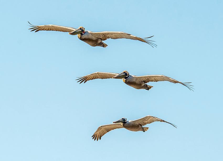 A trio of brown pelicans flies over the coast of California at Laguna Beach
