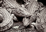 BOTSWANA, Africa, Chobe National Park and Game Reserve, a float of crocodiles, Zambezi River, black and white