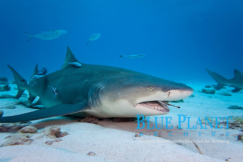 A remora or shark sucker, Echeneis naucrates, is pictured cleaning scraps from inside the mouth of a lemon shark, Negaprion brevirostris, resting on the bottom is a strong current. Thought to be a parasite, this is one of the first images showing a benifit for the shark, in this relationship, West End, Grand Bahamas, Atlantic Ocean