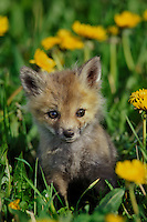 Red fox pup (Vulpes vulpes)