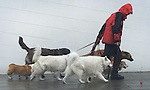 A dog walker earns his pay as he manages a pack of animals fighting up San Francisco hills during the rainy season.