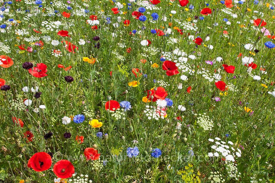 Blumenwiese, Beet, Blumenbeet, Wildkräuter-Wiese, Wildkräuter, bunte Vielfalt, mit Mohn, Kornblumen, Eschscholzia, Escholzia, Escholtzia, flowerbed, flower-bed, flower bed, flowery meadow, Flower meadow, poppy, cornflower, bluebottle