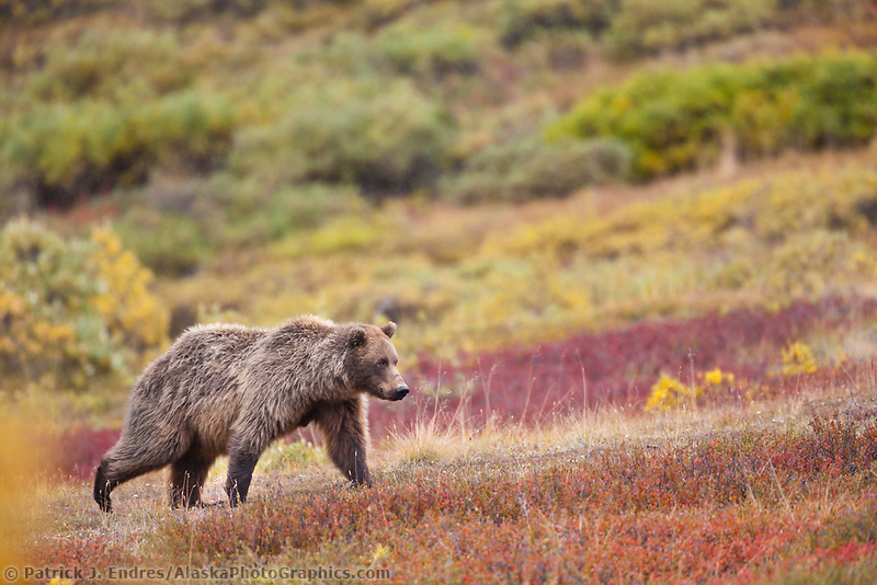 Grizzly bear in the colorful autumn tundra of Sable Pass, Denali National Park, Interior, Alaska.