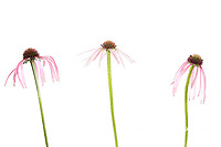 30099-00602 Pale Purple Coneflowers (Echinacea pallida) (high key white background)  Marion Co. IL