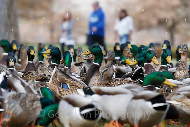 Mallards (Anas platyrhynchos) feeding in a city park. Washington.