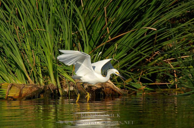 Snowy Egret Hunting Close Portrait Sepulveda Wildlife Refuge Southern California