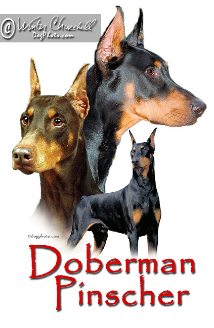 Doberman Pinscher This design is offered on gift merchandise ONLY.<br />