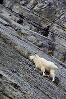 Mt. Goat Billy. Northern Rockies Fall.