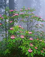 Redwoods National Park, CA<br /> Flowering Rhododendron (R. macrophyllum) in Redwood forest understory in fog - Del Norte Coast Redwoods State Park