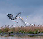 "A heron and egret put on a mid-air dance display as they come to blows whilst hunting for fish.<br /> <br /> The squabbling birds were captured on camera by Judy Tseng from San Fransisco who was visiting the Kiskunsági National Park in Hungry.<br /> <br /> Judy said, ""This is a great egret and and a great blue heron.  These birds can become very territorial over their particular feeding area.  In the end, the great egret failed to nab the blue heron's spot and he flew away.""<br /> <br /> Please byline: Judy Tseng/Solent News<br /> <br /> © Judy Tseng/Solent News & Photo Agency<br /> UK +44 (0) 2380 458800"