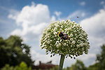 © Joel Goodman - 07973 332324 . 27 July 2013 . Hulme Community Garden Centre , Old Birley Street , Hulme , Manchester M15 , UK . Bees on the roof garden . Hulme is Where the Art Is festival . Photo credit : Joel Goodman