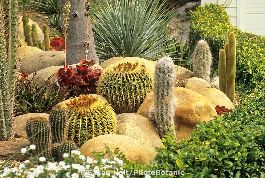 Golden barrels, Echinocactus grusonii w/ Oreocereus cactus in Southern California garden