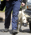 Federal investigator brings in a dog to search the backyard a of a home owned by reputed mobster Robert Gentile, Thursday, May 10,2012, on Frances Drive in Manchester. (Jim Michaud/Journal Inquirer)