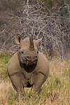 Black Rhinoceros (Diceros bicornis) female, Greater Makalali Private Game Reserve, South Africa