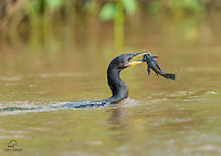 Neotropic Cormorant (Phalacrocorax brasilianus) uses its powerful, toothed beak to overpower a fish.  The Pantanal, Brazil.