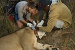 African Lion (Panthera leo) biologist, Caz Sanguinetti, and veterinarian, Kambwiri Banda, collaring six year old female lion, Kafue National Park, Zambia