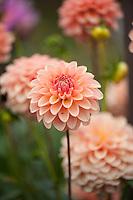 Dahlia in bloom, Washington