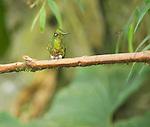Buff-tailed coronet, Boissonneaua flavescens. Refugio Paz de las Aves, Ecuador
