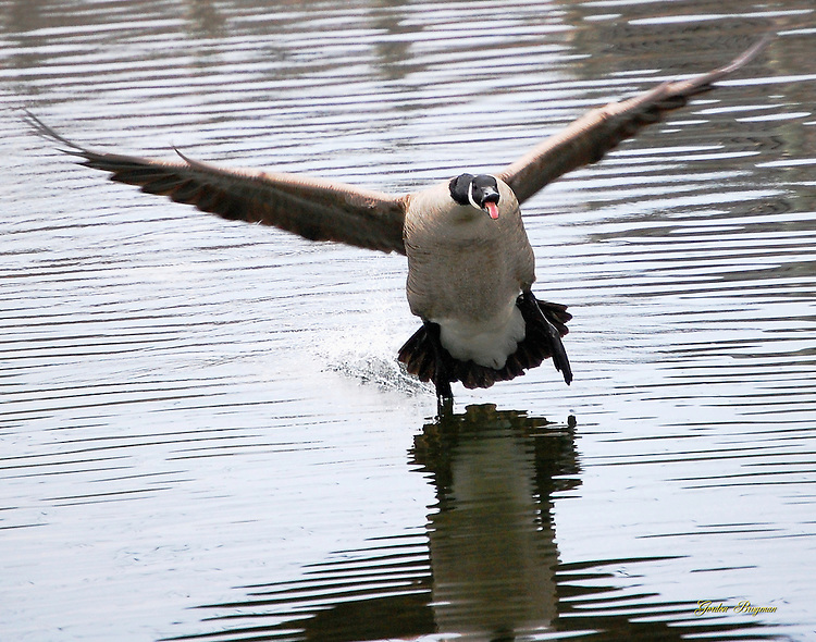 Canadian Goose touches down on the Pigeon River near the Old Mill in Pigeon Forge, Tennessee.