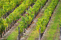 Vineyard. Chateau Paloumey, Haut Medoc, Bordeaux, France.