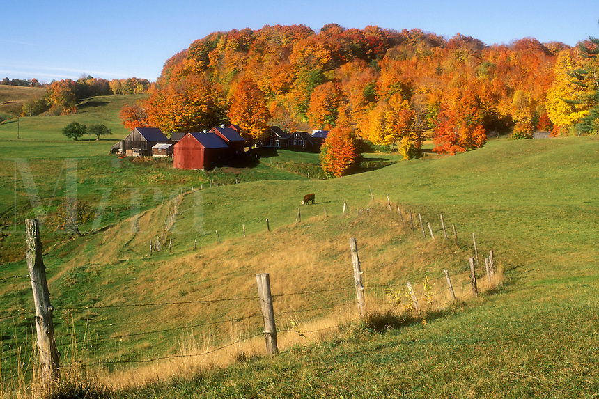 fJenne farm, maple trees, Reading, VT, Vermont, Scenic view of Jenne Farm surrounded by colorful maple trees in Reading in autumn.