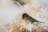Dark-eyed Junco (Junco hyemalis), adult oregon form, Yellowstone National Park, Wyoming, USA