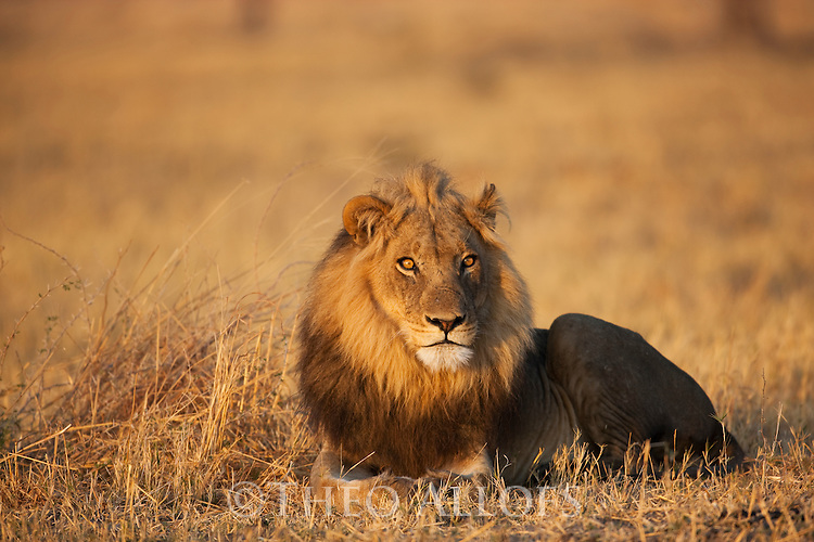 Botswana, Chobe National Park, Savuti, male lion (Panthera leo) lying in grass savannah early morning, close-up