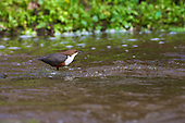 White-throated Dipper (Cinclus cinclus) mid stream in Water. Dippers have a remarkable way to catch food in a niche area. They are able to dive under water readily at will and walk along the bottom in search of caddis fly larva and other food.