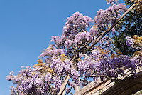 Purple wisteria in full bloom