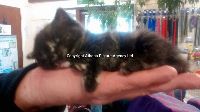 "Pictured: The kitten named Sky after it was dropped by a seagull in Rhyl, north Wales, UK.<br /> Re: A feral kitten grabbed by a seagull and dropped from the sky has been rescued by an RSPCA Cymru inspector in Denbighshire.<br /> The four-week-old kitten has been named Sky after escaping unhurt in the incident near a holiday park at Rhyl.<br /> It is being hand-reared at the charity's Bryn-Y-Maen Animal Centre at Colwyn Bay, Conwy county.<br /> A spokesman said: ""This poor kitten must have been through a terrifying ordeal.""<br /> The centre hopes to re-home the kitten once she is old enough."