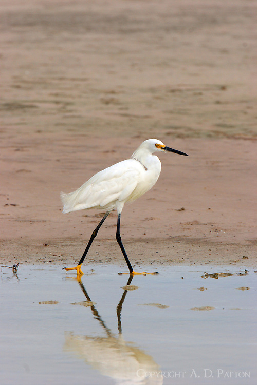 Snowy egret adult in breeding plumage walking at edge of pool