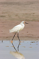 Snowy egret adult in breeding plumage walking at edge of pool