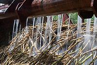 France/DOM/Martinique/Sainte-Marie: Rhumerie Saint-James AOC Rhum de la Martinique- La canne a sucre est  arrosée  avant de pénétrer dans les moulins