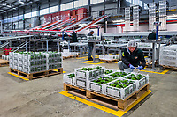 A Colombian worker inspects boxes of avocados during the packing process at a processing plant in Sonsón, Antioquia department, Colombia, 22 October 2019. Over the past decade, the Colombian avocado industry has experienced massive growth, both as a result of general economic development in Colombia, and the increased global demand for so-called superfood products. The geographical and climate conditions in Antioquia (high altitude, no seasonal extremes, high precipitation rate) allow two harvest windows of the Hass avocado variety across the year. Although the majority of the Colombian avocado exports are destined towards Europe now, Colombia aspires to become one of the major avocado suppliers to the U.S. market in the near future.