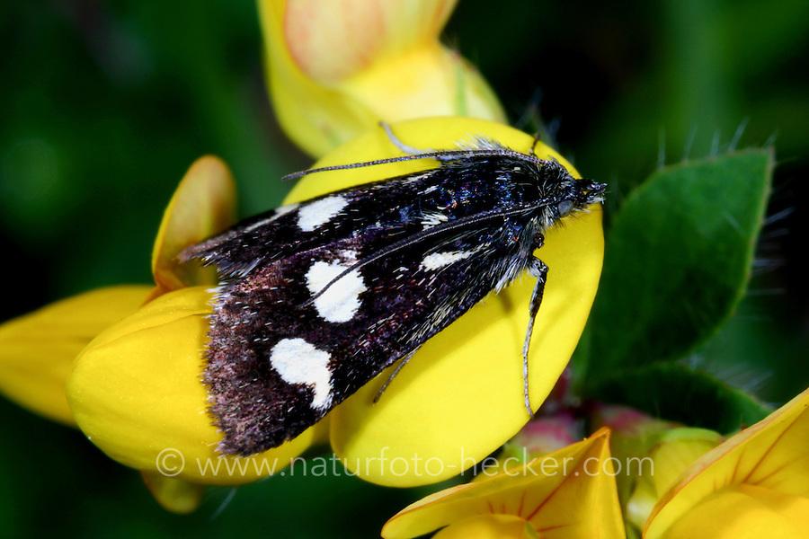 Zünsler, Eurrhypis pollinalis, Eurrhypis obcaecatalis, Titanio pollinalis, White-spotted Black, La Poudrée. Crambidae, Zünsler, crambids