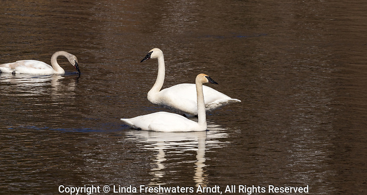 Trumpeter swans on the Chippewa River in northern Wisconsin.