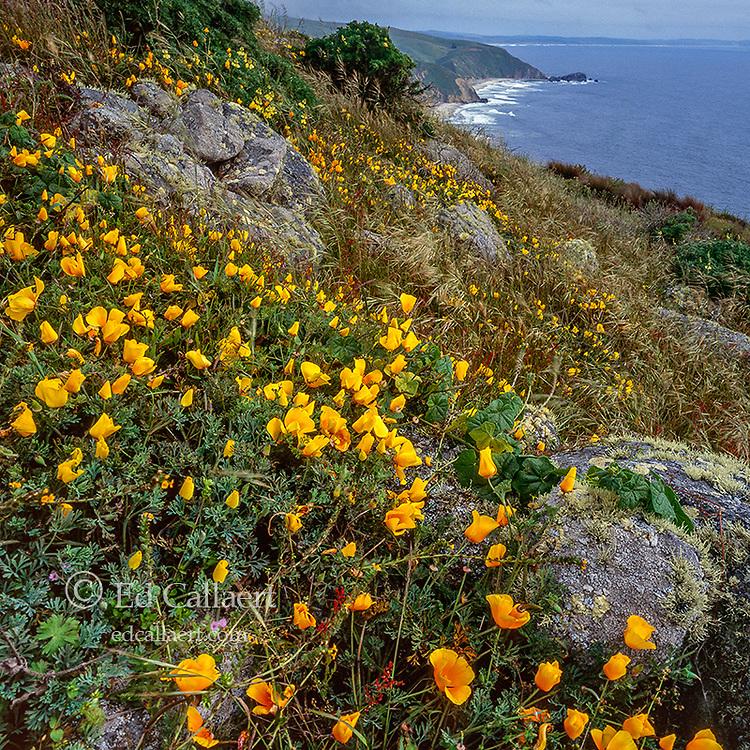 Poppies, Tomales Point, Yellow Tree Lupine, Lupinus arboreus, Point Reyes National Seashore, Marin County California