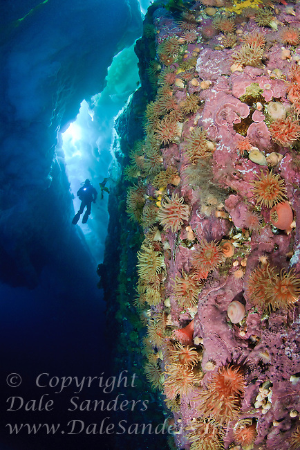 Scuba diver  explores a colorful anemone covered wall of rock beneath the arctic ice off northern Baffin Island, Nunavut, Canada.