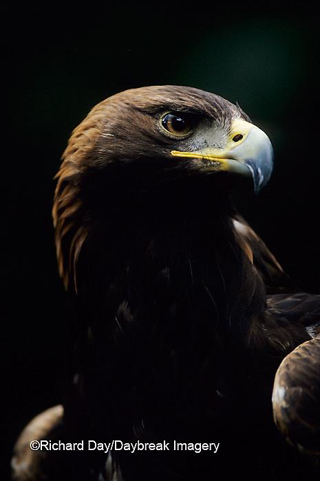 00788-00118 Golden eagle (Aquila chrysaetos) (captive animal)   OR