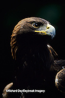 00788-00118 Golden eagle (Aquila chrysaetos) (captive animal)   OR